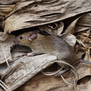 SAFETY ALERT: Mouse plague in NSW